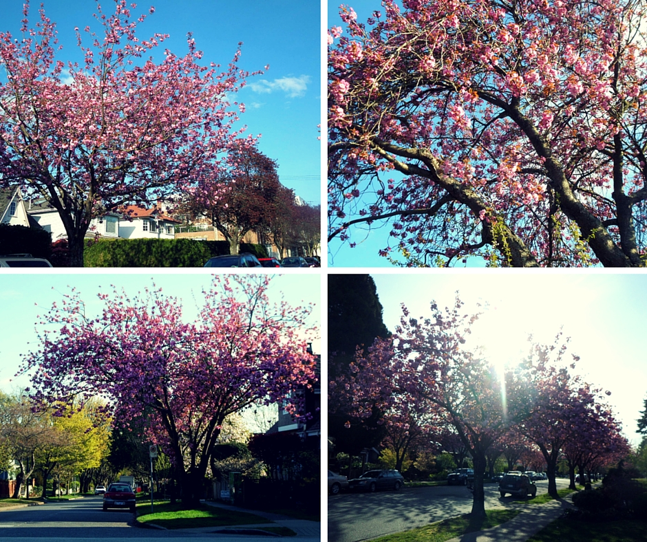 Vancouver cherry blossom 2016 Kanada się nada
